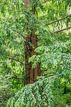 Dawn redwood at the Arnold Arboretum in Jamaica Plain, Boston, Massachusetts, USA