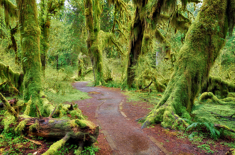 Path in Hall of Mosses. Hoh Rain Forest. Olympic National Park, Washington