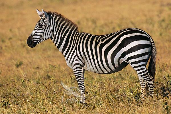 Burchell's or Plains Zebra (Equus burchelli) Serengeti National Park, Tanzania.