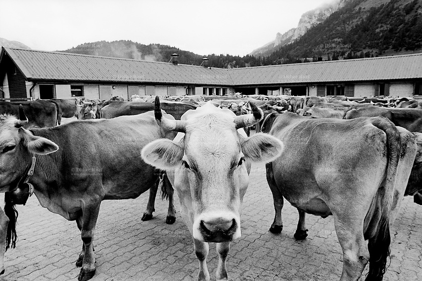 Switzerland. Canton Ticino. Blenio valley. Pian Segno Alp (1650 meters high). Season spent by the cows in mountain pastures. Modern alp. Swiss alpine farmers. Alps mountains peasants.  © 1996 Didier Ruef