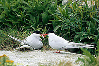 MC71-003z  Arctic Tern - male bringing mate fish - Machias Seal Island, Bay of Fundy - Sterna paradisaea