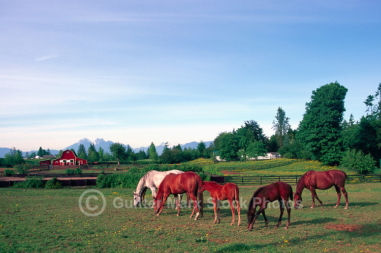 Horses grazing on a Pasture in the Fraser Valley, British Columbia, Canada