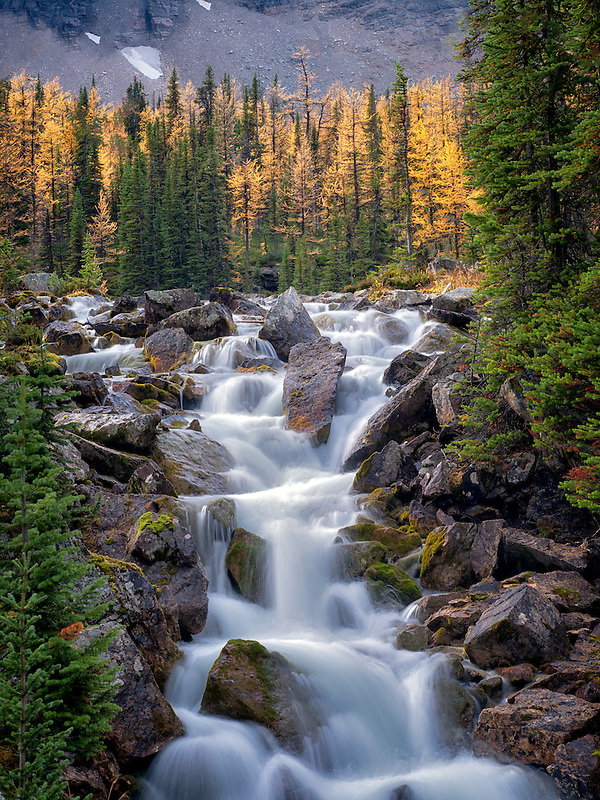 Stream flows from the Opabin Plateau past fall colored larch trees. Yoho National Park, Opabin Plateau, British Columbia, Canada