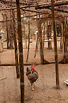 January 2, 2013. Pittsboro, North Carolina.. Goathouse is a refuge for rescued chickens, turkeys and guinea hens, as well as cats.. Siglinda Scarpa, originally from northern Italy, runs the Goathouse Refuge, a no kill shelter for cats. Scarpa, who is also a ceramic artist, runs the shelter with 5 full time employees and currently has over 260 cats in the refuge..