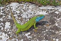 Smaragdeidechse, Smaragd-Eidechse, Östliche Smaragdeidechse, Männchen, Lacerta viridis, green lizard, emerald lizard, male