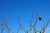 verbliebene, vertrocknete Trauben am Rebstock im winterlichen Weinberg vor blauem Himmel