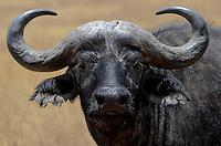 African Cape Buffalo(Syncerus caffer), Tanzania, Africa