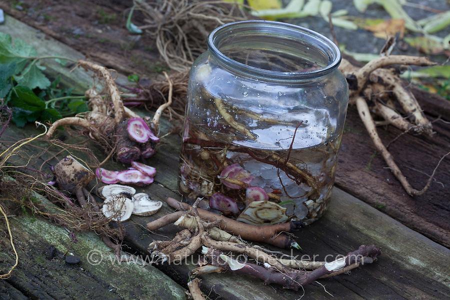 Wurzel-Tinktur, Wurzeltinktur, Tinktur aus Wurzeln verschiedener Heilpflanzen, alkoholischer Auszug, Tinkturen, Wurzel-Schnaps, Wurzelschnaps, Heilschnaps, Kräuterschnaps, Heilschnäpse, Magenbitter, Wurzel-Ernte, Wurzelernte im Herbst, Wurzel, Wurzeln. Root, roots, root stock, tincture, paint, bitters, schnapps. Inhalt: Kandis, Kandiszucker, Nachtkerze, Nachtkerze-Wurzel, Nachtkerze-Wurzeln, Nachtkerzen-Wurzel, Nachtkerzen-Wurzeln, Nachtkerzenwurzel, Nachtkerzenwurzeln, Oenothera biennis, Common Evening Primrose, Evening-Primrose, Evening star, Sun drop, taproot, Onagre, L'Onagre bisannuelle. Baldrian, Echter Baldrian, Echter Arznei-Baldrian, Arzneibaldrian, Katzenwurzel, Baldrianwurzeln, Baldrian-Wurzel, Baldrian-Wurzeln, Valeriana officinalis, Common Valerian, Valériane officinale. Nelkenwurz, Nelkenwurz-Wurzel, Nelkenwurz-Wurzeln, Echte Nelkenwurz, Geum urbanum, wood avens, herb Bennet, colewort, St. Benedict's herb, La benoîte commune, benoite commune. Seifenkraut, Echtes Seifenkraut, Seifenwurz, Waschwurz, Seifenkrautwurzel, Seifenkraut-Wurzel, Seifenkrautwurzeln, Seifenkraut-Wurzeln, Saponariae rubrae radix, Radix saponariae, Saponaria officinalis, common soapwort, bouncing-bet, crow soap, wild sweet William, soapweed, La saponaire officinale. Wilde Karde, Kardenwurzel, Kardenwurzeln, Dipsacus fullonum, Dipsacus sylvestris, Fuller's teasel, wild teasel, common teasel, La Cardère sauvage, Cabaret des oiseaux, Cardère à foulon, Bonnetier sauvage, Chardon à bonnetier. Beifuß, Beifuß-Wurzel, Beifuß-Wurzeln, Beifuss-Wurzel, Beifuss-Wurzeln, Gewöhnlicher Beifuß, Beifuss, Artemisia vulgaris, Mugwort, common wormwood, wild wormwood, wormwood. L'Armoise commune, L'Armoise citronnelle. Wegwarte, Wegwarte-Wurzel, Wegwarten-Wurzel, Wegwarte, Zichorie, Cichorium intybus, Chicory, Common chicory, La Chicorée sauvage, Chicorée amère, Chicorée commune, Chicorée intybe. Brennnessel, Brennnesselwurzeln, Brennnessel-Wurzeln, Wurzelernte, Brennnesselernte, E