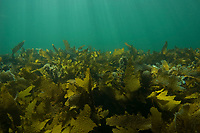 Brown Algae or Seaweed, Cystophora sp., a mixed algae habitat in shallow water mostly Cystophora sp. and also common Kelp, Ecklonia radiata, Edithburgh, South Australia, Australia, Southern Ocean