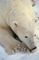 Polar bear (Ursus maritimus) resting.