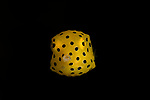 Yellow boxfish, Ostracion cubicus, Ambon