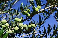 SPAIN Mallorca, Binissalem, Finca Biniagual , new olive plantation / SPANIEN Mallorca, Binissalem, Finca Biniagual, neu gepflanzte Olivenbaeume
