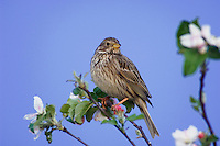 Corn Bunting, Miliaria calandra, adult perched on apple tree, National Park Lake Neusiedl, Burgenland, Austria, Europe
