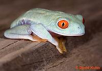 0306-0911  Red-eyed Tree Froglet (Young Frog), Agalychnis callidryas  © David Kuhn/Dwight Kuhn Photography.