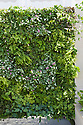 """Green wall, Kate Gould's """"Eco Chic"""" Garden, RHS Chelsea Flower Show 2009."""