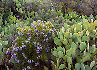 Mescal bean and prickly pear cactus, Walnut Canyon, Carlsbad Caverns National Park, New Mexico