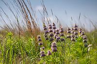 Monarda citriodora (Horsemint, Lemon beebalm) Oklahoma native plant, wildflower in prairie grassland, Miller Ranch with last years stalks of Big Bluestem Grass, Andropogon gerardii