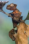 Satanic Leaf-tailed Gecko (Uroplatus phantasticus) moving amongst dead and shrivelled leaves. Ranomafana National Park, Eastern Madagascar.