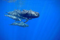 adult and juvenile short-finned pilot whales, Globicephala macrorhynchus, swimming through open ocean, Kona Coast, Big Island, Hawaii, USA, Pacific Ocean