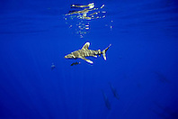 oceanic whitetip shark, Carcharhinus longimanus, and short-finned pilot whales, Globicephala macrorhynchus, off Kona Coast, Big Island, Hawaii, Pacific Ocean.