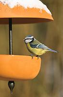 Blaumeise, an der Vogelfütterung, Fütterung im Winter bei Schnee, Winterfütterung, Blau-Meise, Meise, Cyanistes caeruleus, Parus caeruleus, blue tit