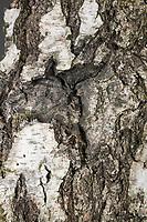 Pappel-Dickleibspanner, Pappeldickleibspanner, Pappelspanner, perfekte Tarnung auf Rinde, Biston strataria, Biston stratarius, oak beauty, Oak beauty moth, la Marbrée, Phalène marbrée, Biston marbré, Spanner, Geometridae, looper, loopers, geometer moths, geometer moth
