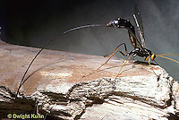 1W17-001a  Giant Ichneumon Wasp - Megarhyssa atrata - note long ovipositor for laying eggs in host insect