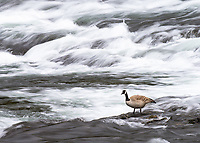 For the first time, I saw Canada Geese hanging out at LeHardy Rapids.