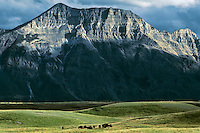 Bison on prairie on east side of Waterton Lakes N.P., Alberta.  July.