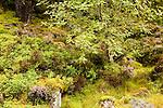 Mountain Ash (Sorbus sp), Heather (Calluna vulgaris) and Bilberry (Vaccinium myrtillus) in moorland, Scottish Highlands, Cairngorms National Park, Scotland, United Kingdom