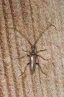 Holzbock, Bockkäfer, Vesperus luridus, Longhorn beetle