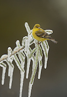 Lesser Goldfinch (Carduelis psaltria), adult female perched on icy branch of Christmas cholla (Cylindropuntia leptocaulis), Hill Country, Texas, USA
