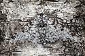 Peppered Moth {Biston betularia}, camouflaged on birch tree bark. Derbyshire, UK.