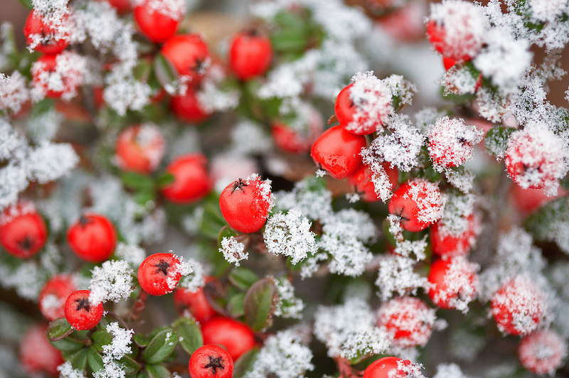 Catoniaster berries with hoar frost. Wilsonville. Oregon