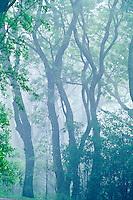 Native Koa trees ( acacia koa )
