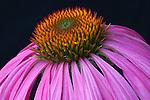 Echinacea purpurea, purple coneflowers