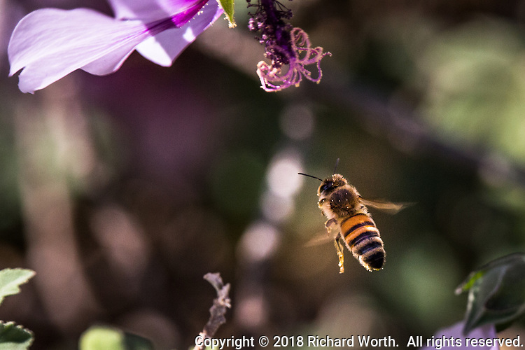 Dusted in pollen, a bee flies among the puple flowers by the observation tower at Martin Luther King Jr. Regional Shoreline on the first day of fall, 2018.