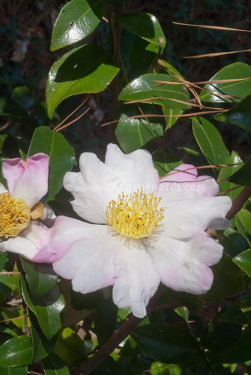 Camellia sasanqua 'Hanajiman' aka Hana Jiman Camellia in white and pale pink autumn flower