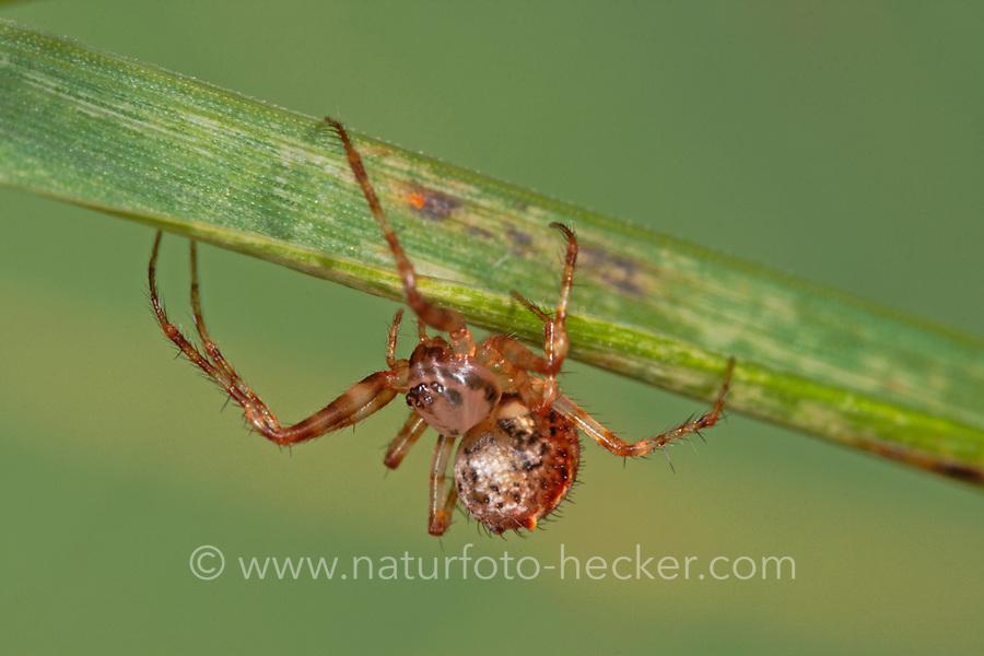 Spinnenfresser, Weibchen, Ero furcata, Pirate spider, female, Spinnenfresser, Mimetidae, Pirate spiders