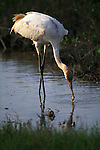 Whooping crane feeding in Aransas National Wildlife Refuge, Texas