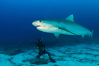 underwater videographer and tiger shark, Galeocerdo cuvier Bahamas, Caribbean (W. Atlantic) (do, dm)