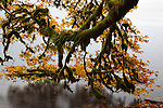 Maple, Lake Crescent, Olympic National Park, Washington <br />