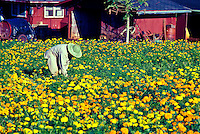 Beautiful flower farm on the north shore with a worker tending the fields