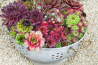Mixed sempervivums in funny kitchen colander pot container for a humorous whimscial upcycling idea of old item