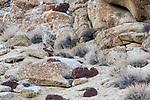 Snow leopard (Panthera uncia)(sometimes Uncia uncia) stalking prey over broken rocky terrain. Ladakh Range, Western Himalayas, Ladakh, India.