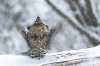 Male Ruffed Grouse (Bonasa umbellus) drumming in spring to attract females. While firmly perched on a log, with tail braced, the male spreads his wings and rotates wings forward, then quickly backward. This creates a sudden compression and release of air pressure, which produces the drumlike sound. Grouse begins with 2 or 3 slow beats, then gradually increases the speed creating a drumlike roll.Okanogan County, Washington. April.