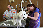 WATERBURY, CT31 December 2013-123113LW01 - Sandy Romano, left, and Bridgett Overbaugh give Milo, a Shihtzu / Bichon Frise mix, an end of year grooming at Fur to Feathers in Watertown Tuesday.<br /> Laraine Weschler Republican-American