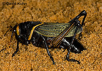 0913-0803  Adult Horse Lubber Grasshopper Depositing Eggs Underground - Taeniopoda eques © David Kuhn/Dwight Kuhn Photography.