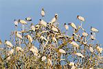 Wood storks, Venezuela