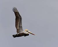 Brown Pelican in flight, Port Aransas, Texas